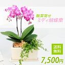 椎名洋ラン園の観葉寄せミディ2本立(ピンク)オリジナル陶器鉢...
