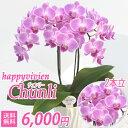 チュンリー2本立■送料無料■ミディ胡蝶蘭 内祝い