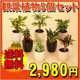 □ミニ観葉植物セット(5?6鉢入り)【】【マラソン201405】【楽ギフメッセ】【楽ギフメッセ入力】
