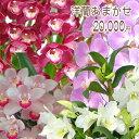 洋蘭おまかせ20,000円 ファレノプシス(胡蝶蘭)ミニ マイクロ胡蝶蘭ミディ