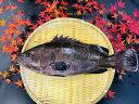 マハタ 1尾 (活〆) 約1kg~1.5kg 【 まはた 真羽太 高級魚 一尾 しゃぶしゃぶ 刺身 海鮮鍋 新鮮 美味しい 人気 ギフト 贈答 国産 お中元 正月 お歳暮 御祝 内祝 送料無料】