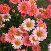 マーガレット モリンバ ヘリオウォーターメロン 9cmポット苗(咲く時期、環境により花色が変わります。)
