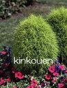 《花苗》《夏の花苗》《暑さに強い》《花壇苗》《ガーデニング》□ B-046 コキアほうき草9cmポット