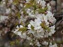 桜のタネ蒔き