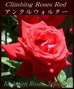 つるバラ 赤 2年生大苗□バラ苗 CL赤アンクル・ウォルター18cmLポット