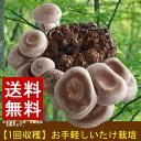 【送料無料】しいたけ 栽培 菌床(1個) シイタケ 栽培キット きのこ栽培 採れたて シイタケ しいたけ 収穫