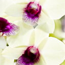 Silk_orchid_img
