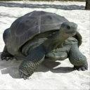 FRP ガラパゴスの遺産 / Galapagos Tortoise 『亀オブジェ アニマルオブジェ 店舗・イベント向け』