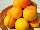 【送料無料】生食や杏酒、シロップ漬けなどの加工品にも最適な「長野県産 生アンズ 約4kg箱」