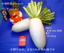 [加賀野菜] 源助大根 1本 1�1.5kg