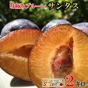 8月上旬発送 生プルーン サンタス 減農薬 長野県産 2キロ レビューを書いたら200円クーポン
