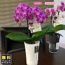 ミニ胡蝶蘭 タンブラースリムポット3号鉢植え 2本立て ピン...