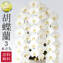 胡蝶蘭 白 3本立ち 45輪 ラッピング 送料無料 お祝い 開店祝い 開業祝い 贈り物 大きい 抜群の花持ちの良さ 花の仕立ての美しさ