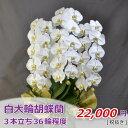 白大輪 胡蝶蘭 3本立ち36輪程度 つぼみ含む 【白3F5LP1016】