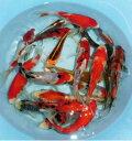 観賞用錦鯉(21センチ以上)は、飼育水温が違う為同梱不可。水温18度で飼育中。27年産 錦鯉ミックス