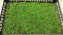 シノブゴケ 50×35トレー入り 苔玉 テラリウム アクアリウム 造園素材等 管理説明書付き