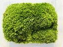 送料無料♪ワンコインシリーズ♪ヤマゴケ 12×10パック テラリウム 盆栽 盆景 管理説明書付き