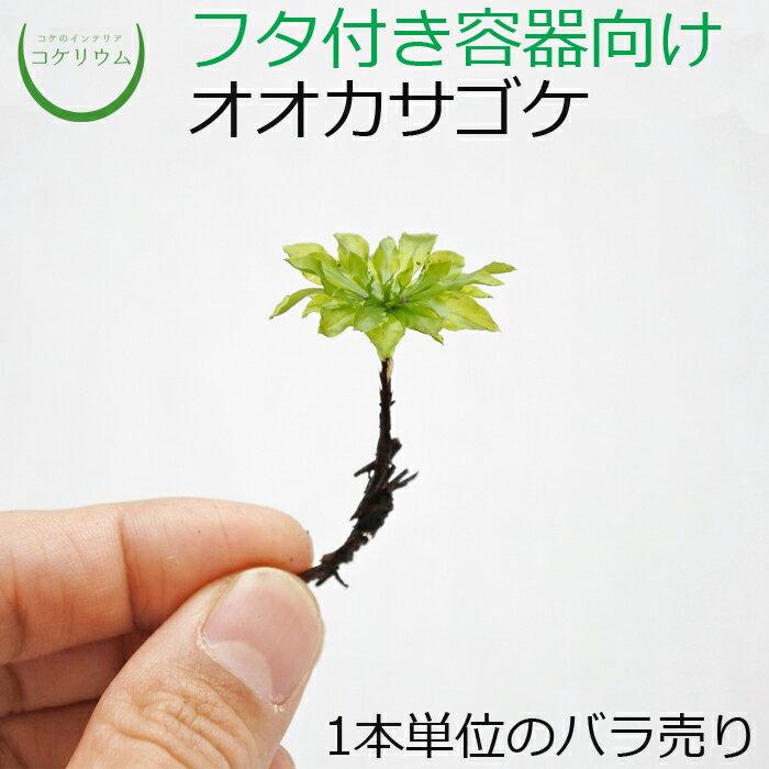 観葉植物おしゃれミニテラリウムコケリウム苔コケ苔テラリウム苔リウムアクアリウムアクアテラリウム園芸ハ
