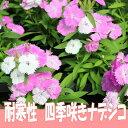 四季咲き ナデシコ ベルフィー ブラッシュピンク 9センチポット 3号  なでしこ 撫子