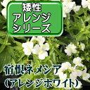 ◆宿恨ネメシア 矮性 アレンジホワイト 【05P05Dec15】