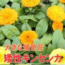 ◆キンセンカ(矮性) 橙・黄色ミックス 苗 9センチポット 【05P07Feb16】