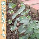 ユーカリ グニー  9センチポット 3号 【P08Apr16】