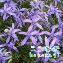 ◆選べる3色 イソトマ ローレンティア 苗  9センチポット...