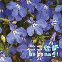 栄養系 ロベリア アナベル ブルー 10.5センチポット 3.5号 【05P23Aug15】