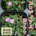 エロディウム エロディアム 姫フウロ ピンク(フウロソウ科) 苗 9センチポット【P08Apr16】