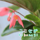 ベゴニア(木立性) ドラゴンウィング ピンク  9センチポット 3号【P08Apr16】