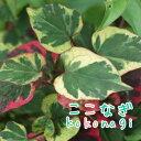 RoomClip商品情報 - 五色ドクダミ カメレオン   9センチポット 3号 【05P23Aug15】