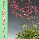 ◆ツボサンゴ(ヒューケラ) サングイネア 9センチポット 3号【05P26Mar16】