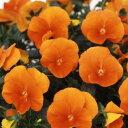 ◆パンジー よく咲くスミレ マーマレード 10.5センチポット 3.5号 【P23Jan16】