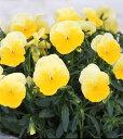 パンジー よく咲くスミレ レモネード 10.5センチポット 3.5号 【05P05Dec15】