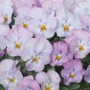 ◆パンジー よく咲くスミレ ライチ 10.5センチポット 3.5号 【05P24Oct15】