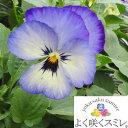 パンジー よく咲くスミレ ソーダ' 10.5センチポット 3.5号【P23Jan16】