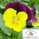 ◆パンジー よく咲くスミレ スイートポテト 10.5センチポット 3.5号 【05P05Dec15】