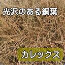 銅葉 カレックス 苗 9センチポット 3号【05P26Mar16】...