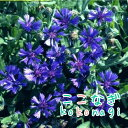 ◆ セントーレア ブルーカーペット 苗 9センチポット 3号 【05P26Mar16】
