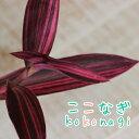 セトクレアセア ピンクストライプ 斑入紫御殿 フイリムラサキゴテン 9センチポット 3号 ふいりむらさきごてん 斑入り 【05P23Sep15】