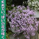 ◆ふんわりピンクで覆う サポナリア オキモイデス 9センチポット 3号 【05P30May15】