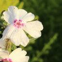 ◆ピンクのアクセント 芝桜 アメージング・グレース 9センチポット 3号 シバザクラ【05P26Mar16】