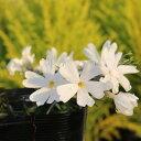 白い花が好きな人に 芝桜 ホワイト 9センチポット 3号 シバザクラ【05P26Mar16】