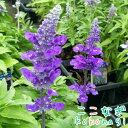 ◆サルビア ファリナセア ブルー 苗 9センチポット 3号...