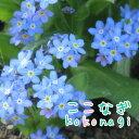 ◆ワスレナグサ ブルー 勿忘草 忘れな草 苗 9センチポット 3号【P08Apr16】