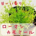 【ローマンカモミール】花と葉も甘い香りがする多年草