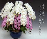 【・産地直送】『洋蘭の鉄人』森田さんが育てたミックス胡蝶蘭8本立ち(80リン前後・つぼみ含む) ※お届けは関東限定となります。