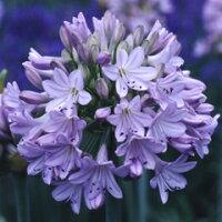 オリジナル品種! とても柔らかな花色!アガパンサス'森の和(やすらぎ)'苗 1株