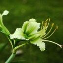 秋咲き原種アマリリス 実生カリプトゥラタム球根 1球