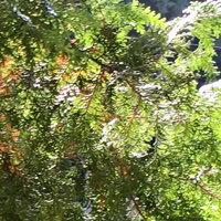 檜の葉【ヒノキ】5枚 代引時間指定不可